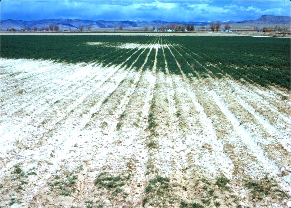 High soil salinity is destroying food crops