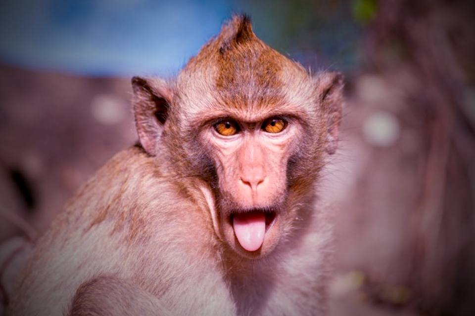 How did lab monkeys survive with HIV for six months without daily drugs?